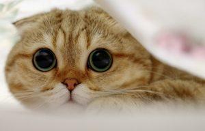 معرفی نژاد گربه: اسکاتیش فولد
