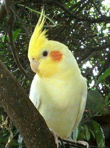 نژاد پرنده: عروس هلندی