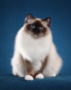 گربه های رگدال