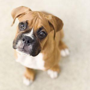 نژاد سگ باکسِر