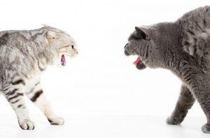چگونه دعوای بین گربه ها را متوقف کنیم