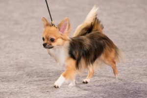 نژاد سگ شی واوا ( قسمت سوم )