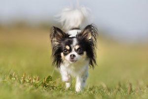 نژاد سگ شی واوا ( قسمت چهارم )