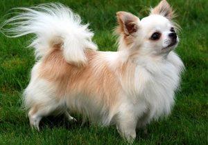 نژاد سگ شی واوا ( قسمت دوم )