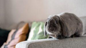 ادرارِ خرگوش