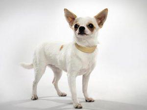 نژاد سگ شی واوا