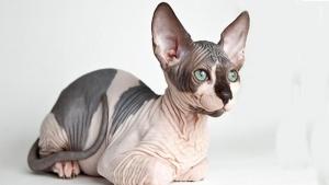 نژاد گربه اسفینکس