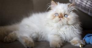 نژاد گربه هیمالین