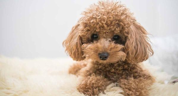 نژاد سگ پودل