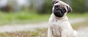 نژاد سگ پاگ