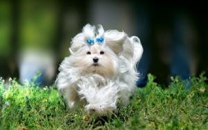 نژاد سگ مالتیز