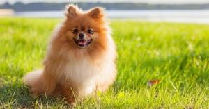 سگ پامرانین ( قسمت اول )