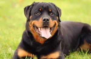 نژاد سگ روتوایلر ( قسمت دوم )