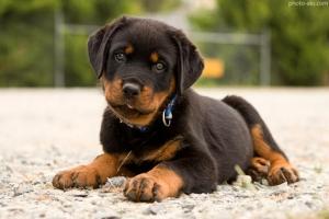 نژاد سگ روتوایلر ( قسمت اول )