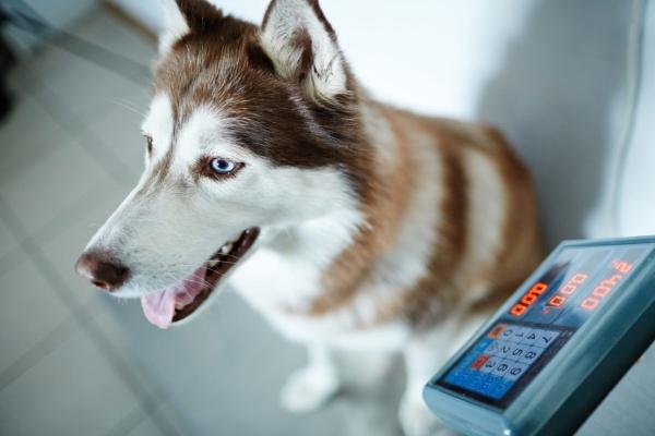 چگونه وزن سالم سگ خود را محاسبه کنید